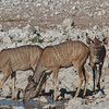 ...these Greater Kudu... (Photo by participant Ken Havard)