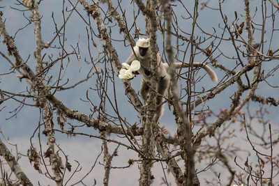 A troop of Common Langurs was laying waste to several flowering magnolia trees, eating each and every flower, petal by petal on Pele at 10,400 feet. (Photo by guide Richard Webster)
