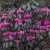 A blooming rhododendron on Pele La at 10,300 feet (Photo by guide Richard Webster)