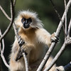 The near-endemic Golden Langur: How long did its stylist need to create this effect? (Photo by guide Richard Webster)