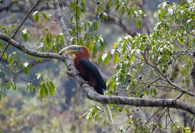 A Rufous-necked Hornbill holding a fruit in its bill, which it uses adeptly like tongs to manipulate its food (Photo by guide Richard Webster)