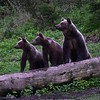 A blind provided our group the perfect place from which to watch feeding Brown Bears near Desag in Romania. These three were on alert about something. (Photo by participant Daphne Gemmill)