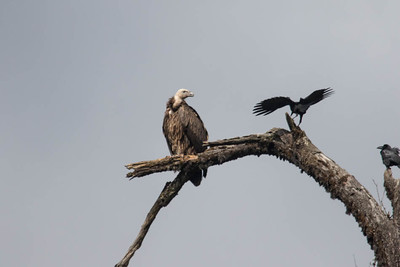 A Himalayan Griffon at Pele La dwarfs a Large-billed Crow, which apparently was trying to take something from it. (Photo by guide Richard Webster)