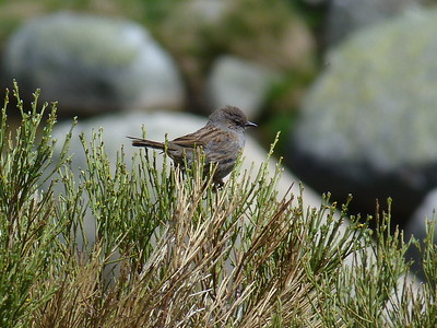 One of Europe's least-adorned birds: Dunnock! (Photo by participant Ed LeGrand)