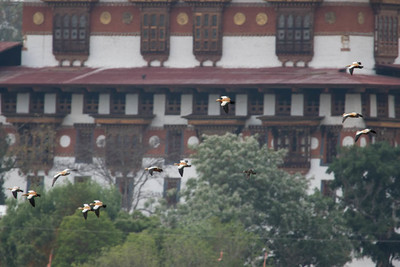 There were better photos of this Mandarin Duck (one of very few for Bhutan, here against a tree just right of center) with Ruddy Shelducks, but this image captures the fun of the experience, a vagrant with the backdrop of a true stakeout, the magnificent Punakha Dzong. (Photo by guide Richard Webster)