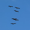 A squadron of majestic Eurasian Griffon vultures (Photo by participant Ed LeGrand)