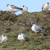 It was a good trip for Snow Pigeons, starting with this approachable flock on Chele La. (Photo by participant Diane Drobka)