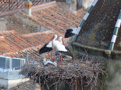 Nesting White Storks are literally part of the architecture in much of Spain, including here in Truijillo. (Photo by participant Ed LeGrand)
