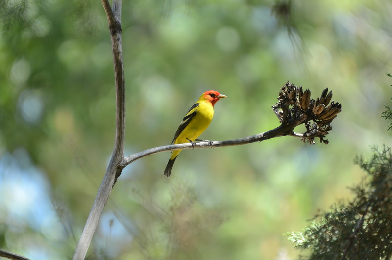 Nothing quite like a male Western Tanager right out in the open! (Photo by participant Sture Persson)