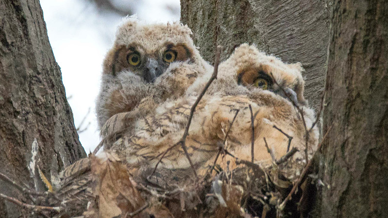 Daytime owling is always a bonus, and these fluffy young Great Horned Owls were fun to watch. Photo by participant Grace Donald.