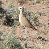 A graceful Cream-colored Courser at Midelt. Photo by guide Jesse Fagan.