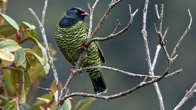 With red feet and bill, and that beady eye, Barred Fruiteater almost looks like a plastic model of a bird...but a fine one! Photo by participant Randy Beaton.