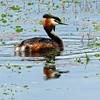 Jumping now to Classical Greece: Great Crested Grebe, largest grebe in the Old World, breeds widely from Europe across Asia. Photo by participant Merrill Lester.