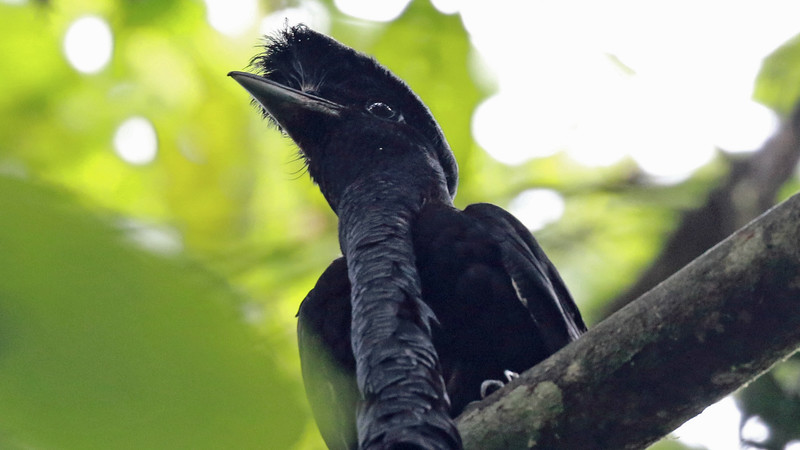 The Long-wattled Umbrellabird (even longer than cropped here!) is a wonderfully bizarre highlight of our SW Ecuador tour. Photo by participant Randy Beaton.