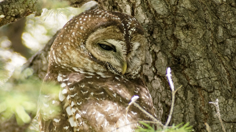 A fine portrait of a day-roosting Spotted Owl by participant Doug Happ.