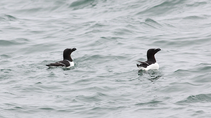 Not colorful yet very classy: Razorbills nest on several Gulf of Maine islands. Photo by guide Eric Hynes.