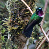 Let's switch continents now, to our Southwestern Ecuador Specialties trip. This lovely Amethyst-throated Sunangel is from participant Randy Beaton.
