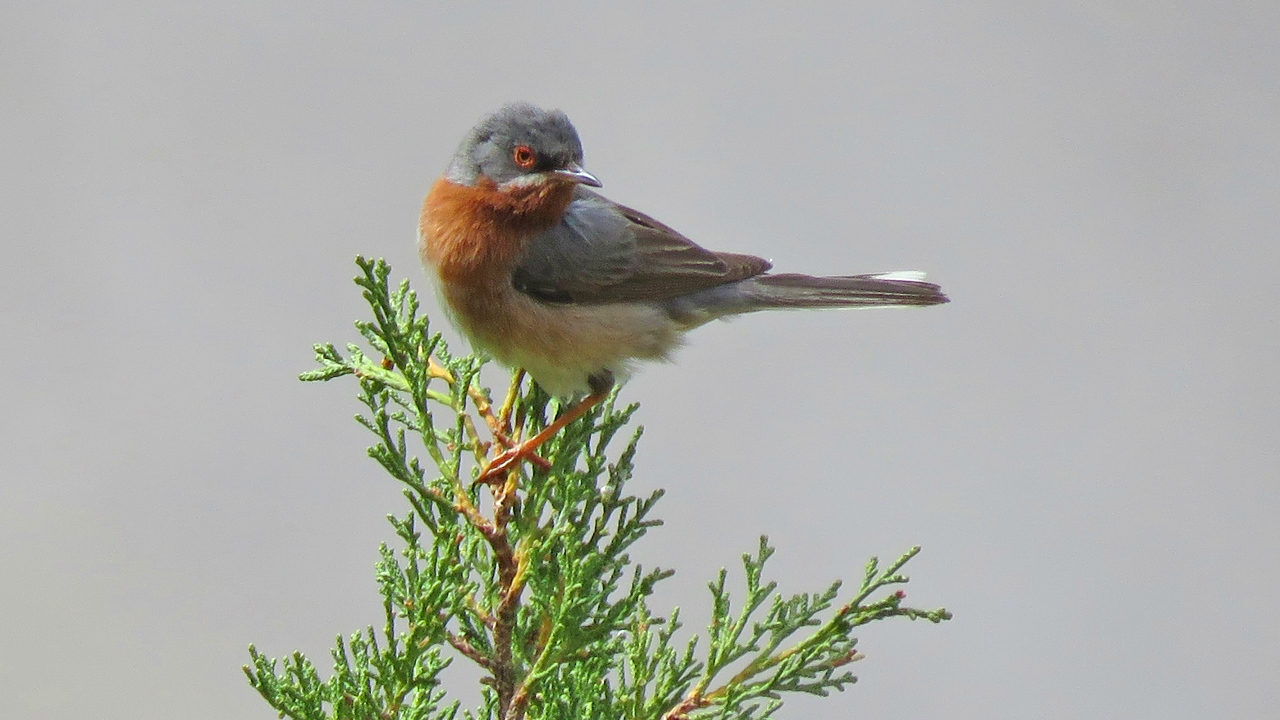 The handsome Subalpine Warbler has a wide range across southern Europe and northwestern Africa. Photo by Classical Greece participant Merrill Lester.