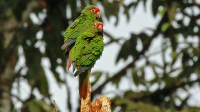 El Oro Parakeets, discovered in 1980, are found only in a small area of southwestern Ecuador. Photo by participant Randy Beaton.