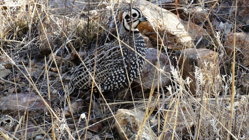 Southward to our spring Arizona and Arizona Nightbirds tours: Even out in the relative open, the striking Montezuma Quail blends in quite well. Photo by participant Max Berlijn.
