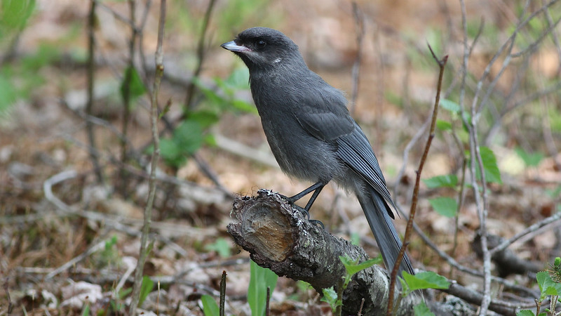This plumage can leave some birders scratching their heads: a juvenile Gray Jay! Photo by guide Eric Hynes.