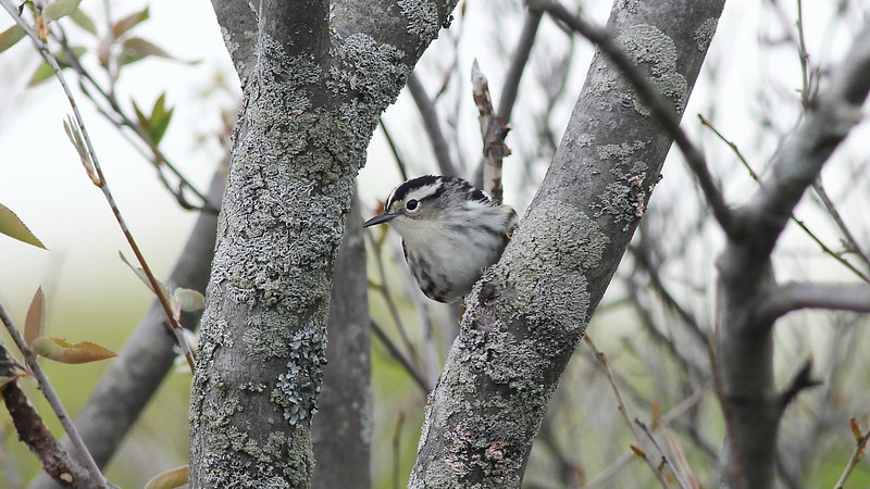 Black-and-white Warbler was among a wonderful diversity of wood-warblers we saw in Maine. Photo by guide Eric Hynes.