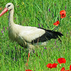 A nice setting: White Stork amidst the poppies. Photo by participant Merrill Lester.