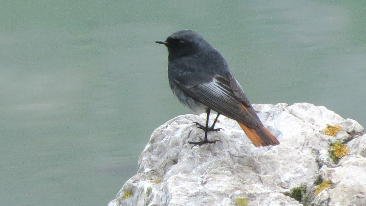 Just nearby, from our spring Hungary & Romania tour: Black Redstart, photographed by participant Jan Shaw.