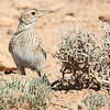 Larks are a feature of our Morocco tour: here's Dupont's by guide Jesse Fagan.