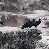 Waldrapp (Northern Bald Ibis) is a highlight of the tour. Photo by guide Jesse Fagan.