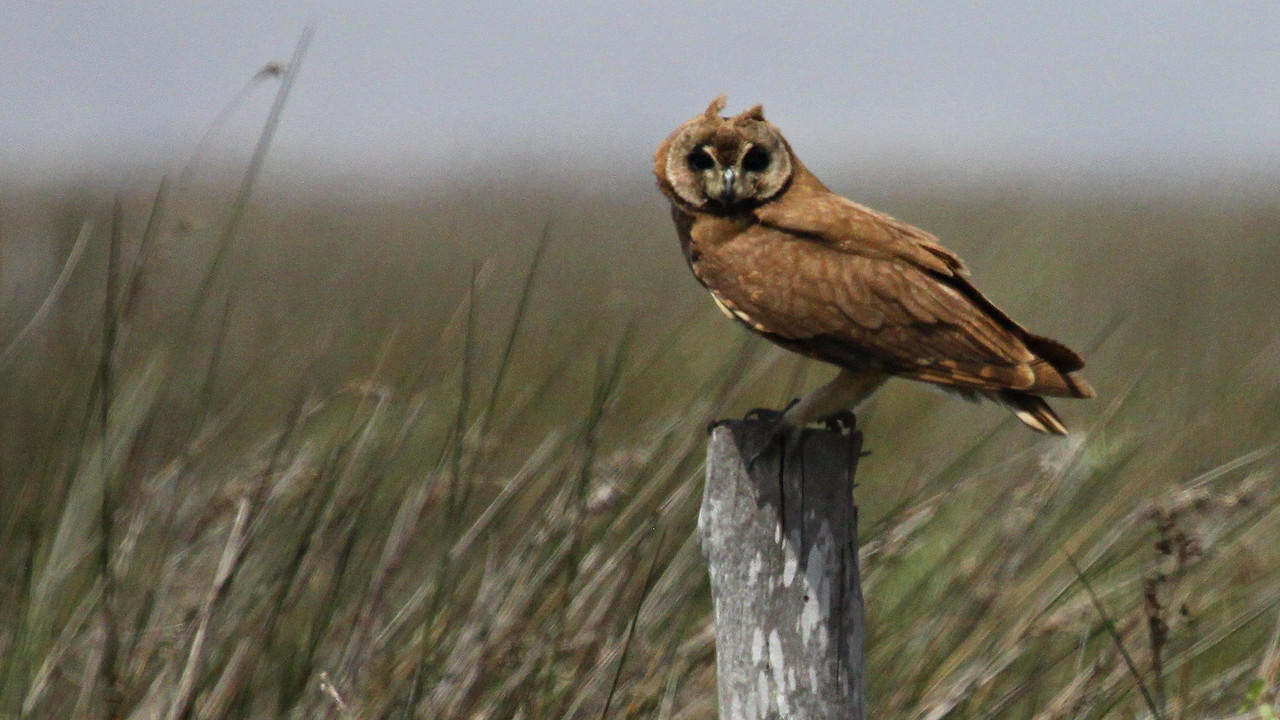 Marsh Owl is always a wonderful find. Photo by guide Jesse Fagan.