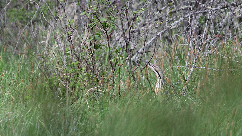 This American Bittern from our Maine tour made a good show of blending into the background. Photo by guide Eric Hynes.