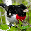 Another colorful and regular migrant at Point Pelee: Rose-breasted Grosbeak. Photo by guide Jay VanderGaast.
