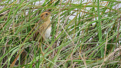 Nelson's Sparrows winter along the Texas coast and linger into April before moving northward. Photo by participant Neil McDonal.