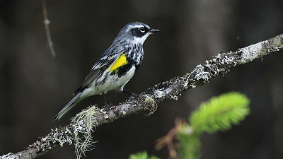 Yellow-rumped Warbler is a common species in coniferous forests in Maine. Photo by guide Eric Hynes.