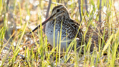 We had some fine views of the oft-secretive Wilson's Snipe on the Pelee tour. Photo by participant Grace Donald.