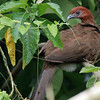 Rufous-headed Chachalaca is a species with a small range mostly in Ecuador, and another specialty of our SW Ecuador tour. Photo by participant Randy Beaton.
