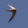 A Pallid Swift in acrobatic flight. Photo by guide Jesse Fagan.