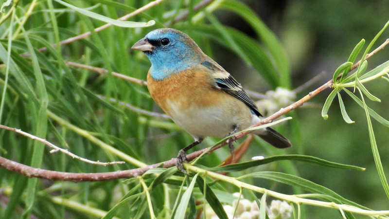 A male Lazuli Bunting is, well, just wow! Photo by Arizona participant Doug Happ.