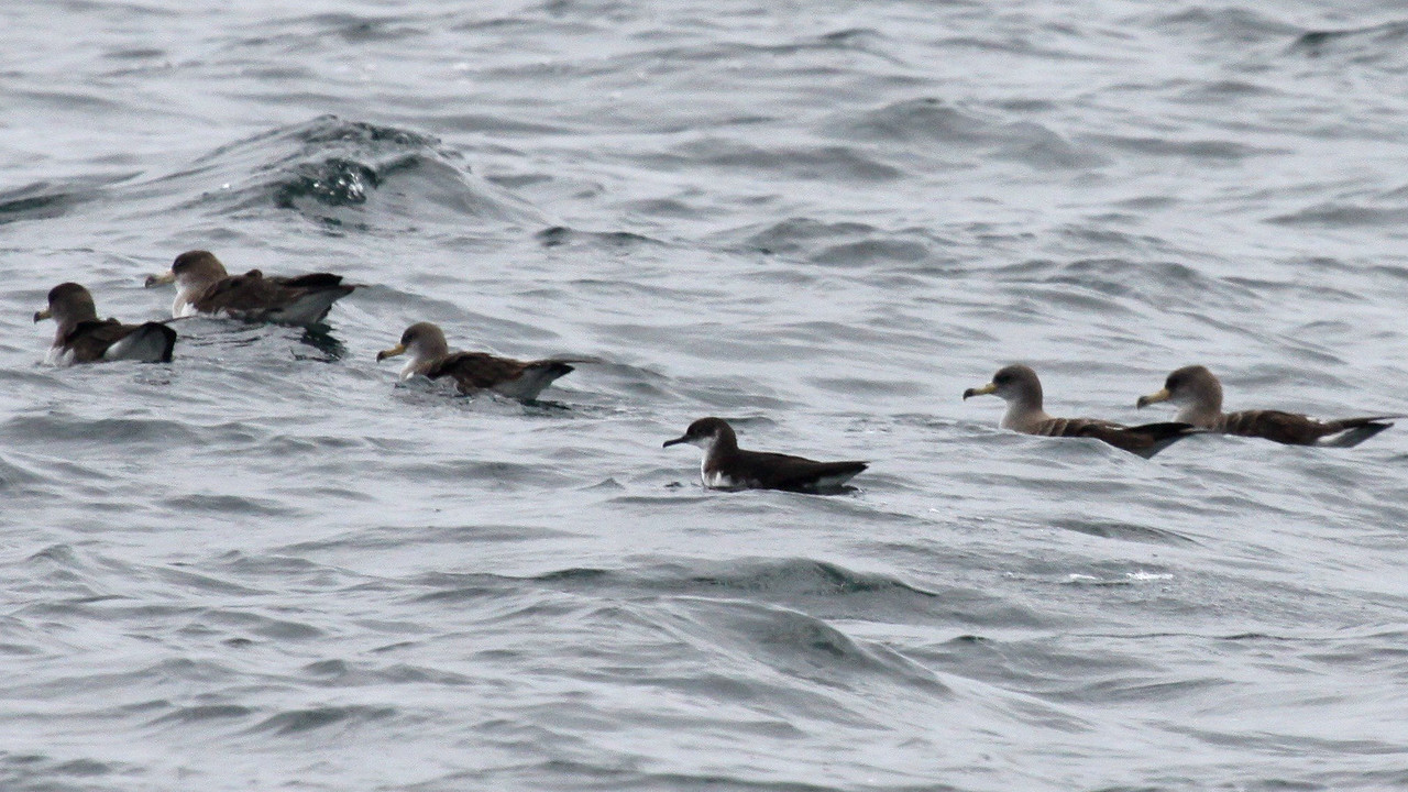 Here, a smaller Manx Shearwater among the Cory's. Photo by guide Jesse Fagan.