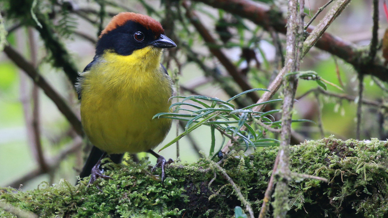 Portrait pose: the cloud forest Yellow-breasted Brushfinch by participant Randy Beaton.