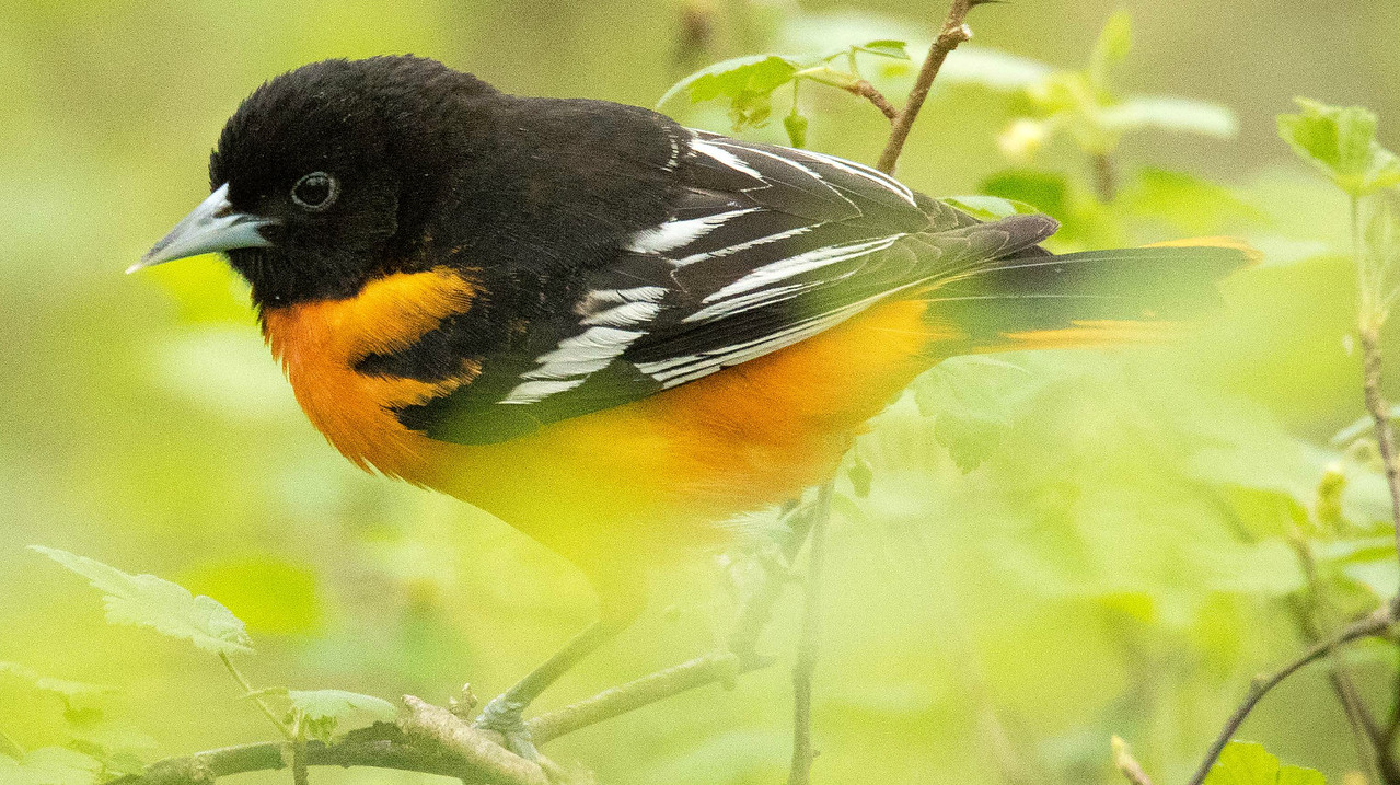 Continuing our northern spring theme: Point Pelee participant Grace Donald captured this lovely male Baltimore Oriole.
