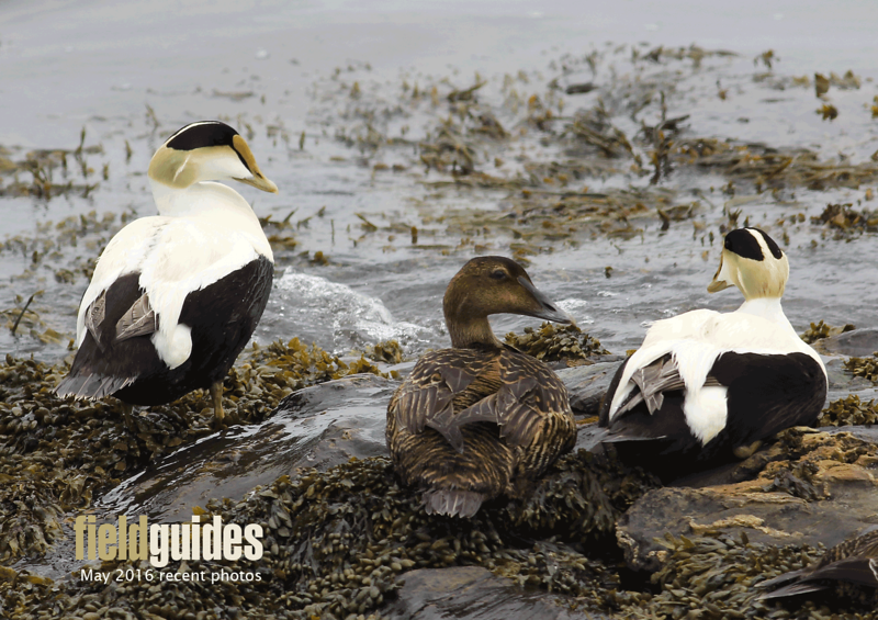We begin this month's gallery with classic Maine: Common Eiders along the rocky shore, by guide Eric Hynes from our recent tour.