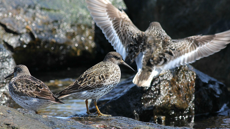 Wintering Purple Sandpipers regularly linger into late May or even early June in Maine. Photo by guide Eric Hynes.