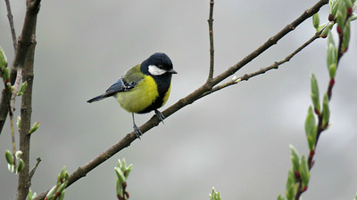Green-backed Tit has two white wingbars compared to its close relative the Great Tit, which only has one. Photo by guide Phil Gregory.