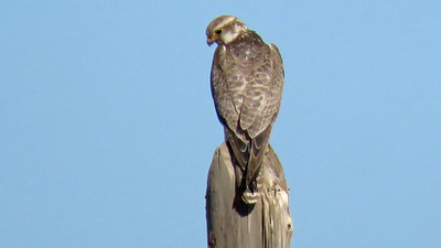 The impressive but uncommon Saker Falcon has a stronghold in Mongolia. Photo by guide Phil Gregory.