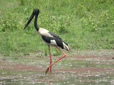 The patchwork pattern of a Black-necked Stork looks like a paint-by-numbers project. Photo by guide Phil Gregory.