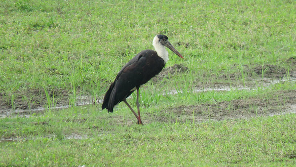 Woolly-necked Stork is an imaginative name for a creature covered by feathers. Photo by guide Phil Gregory.