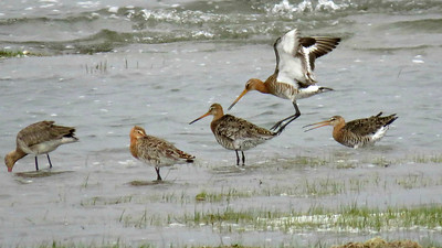 The clean white underwings help separate Black-tailed Godwits from Hudsonian Godwits. Seeing them in central Asia is another good clue. Photo by guide Phil Gregory.