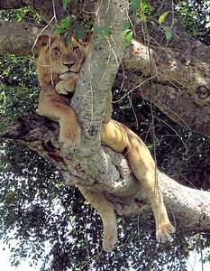 Lions spend most of the day resting, and they, too, like chillin' in the trees. Photo by participant Warren Jones.